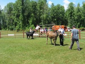 Open 4-H Beef Calf Rally